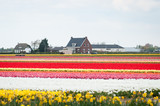 tulips fields