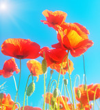 Flowering scarlet poppies against the blue sky. Sunny bright day. Soft gentle focus.