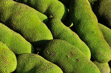 ripe jackfruits for sell