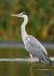 Quadro Grey heron (Ardea cinerea)