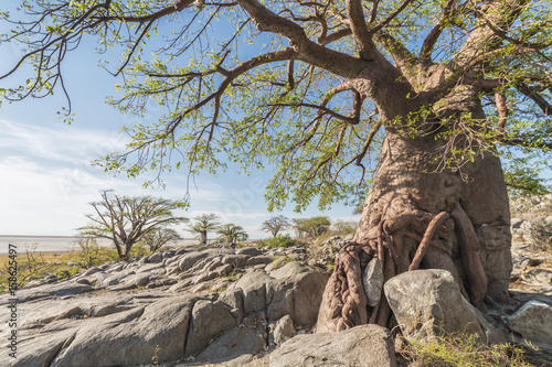 Foto op Canvas Baobab baobab tree in summer