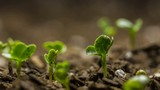 Seed time lapse of growing vegetable seeds low angle macro. - 158632266