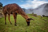 Alpaca in Machu Picchu, Peru