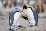 King Penguin mating ritual