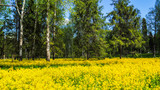 A field of flowering rapeseed in the birch grove. Yellow flowers. June in Saint Petersburg.