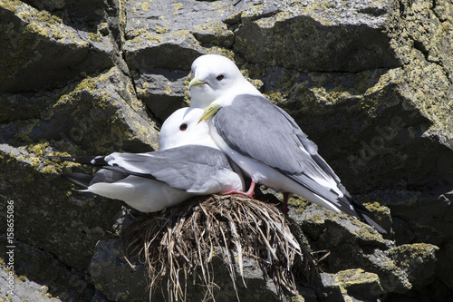 Male and female red-legged kittiwakei who sit on a nest in a colony on a rock Poster