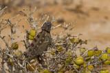 Macro of a desert Chameleon