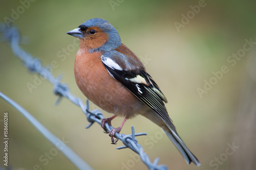 Poster Chaffinch perched on barbed wire