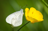 Cryptic Wood White butterfly on buttercup