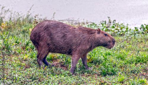 Papiers peints Hyène Capybara on the shore of lake in the rain - El Cedral, Los Llanos, Venezuela