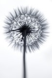 Dandelion fluff  - 158662686