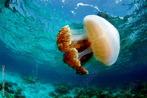 jellyfish found at coral reef area in Malaysia Poster