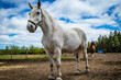 White horse at Hatfield Farms, Nova Scotia Canada