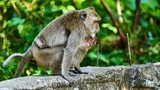 Monkey sits on a ground, looks at you