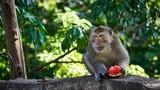 Monkey eats watermelon. Koh Pangan