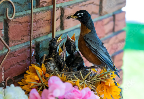 Poster Robin mother with chicks