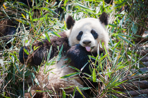 Fotobehang Panda Panda lying down in grass and showing is tongue