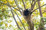 Young panda sleeping in a tree