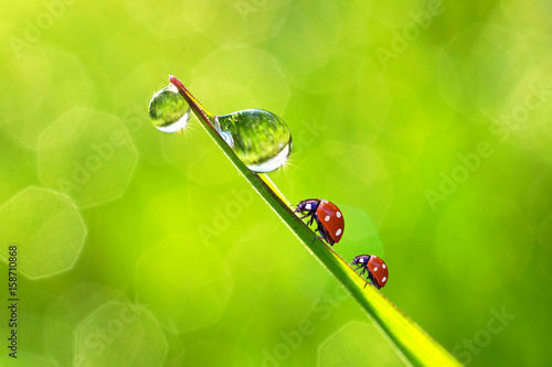 Bright drops of rain water dew and ladybugs in a grass fresh summer morning outdoor macro. Beautiful blurred green background with round bokeh.