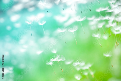Fotobehang Paardebloemen Dandelion seeds fly in the wind close up macro with soft focus on green and turquoise background. Summer spring airy light dreamy background.