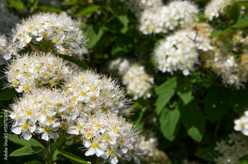 Bush spirea flowers close-up, white. Poster