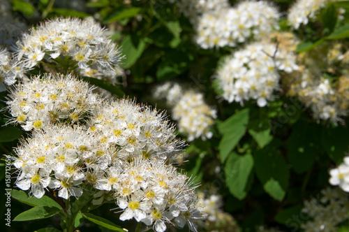 Poster Bush spirea flowers close-up, white.