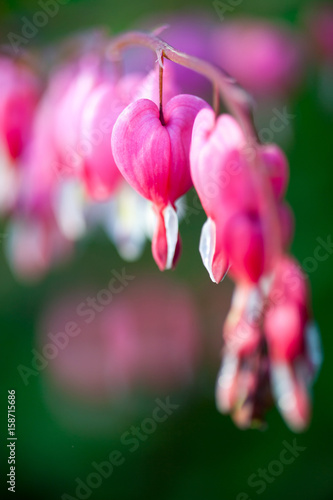 Leinwanddruck Bild Bleeding heart