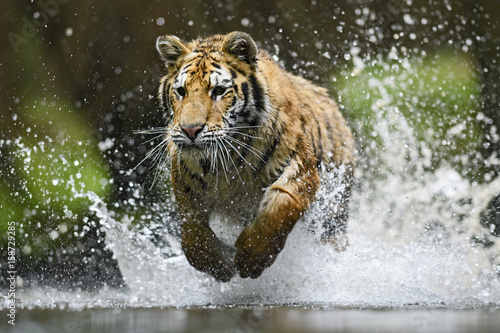 Siberian Tiger hunting in the water Poster