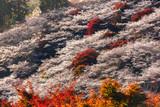 Autumn Landscape with Shikisakura blossom. Obara, Nagoya,
