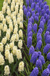 Colored hyacinth in Holland in spring
