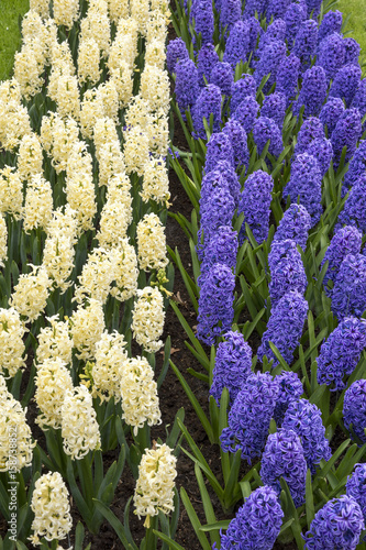 Colored hyacinth in Holland in spring Poster