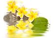 composition aquatique, fleurs de frangipanier sur galets