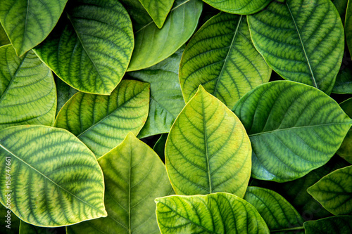 Foto Murales the  Fresh tropical Green leaves background