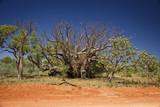 Old Baobab Tree at the Kimberleys - Western Australia