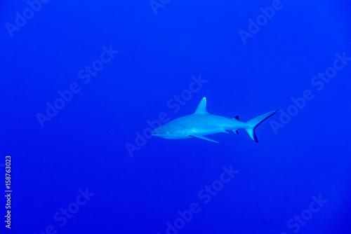 Leinwandbild Motiv Grey shark ready to attack underwater in the blue