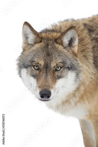 Fototapeta Grey wolf isolated on white