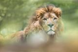 lion roi majesté afrique animal savane rugir lionne portrait sauvage
