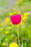 Spring landscape, purple flower Tulip on soft green background of leaves and yellow dandelions, close-up