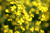rape blossoms, bees collect honey
