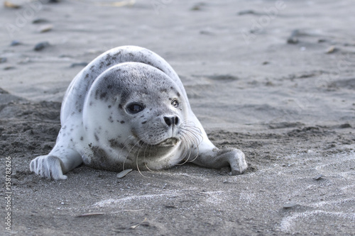 Puppy spotted seal which lies on a sandy beach on the ocean Poster