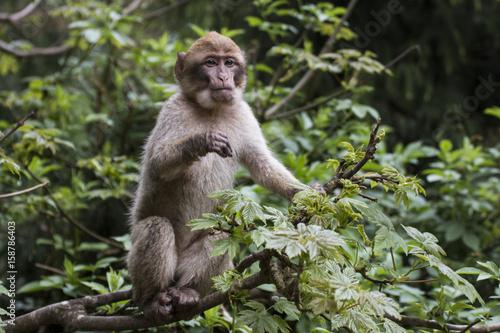 Fotobehang Aap Kleiner Affe auf Baum im Jungle hält Ausschau