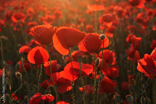 Papiers peints Rouge mauve Beautiful red poppies at sunset