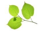 Linde (Tilia), Blatt freigestellt