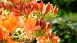 Orangene Blüten eines Rhododendron