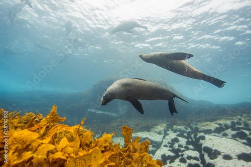 Fotobehang Dolfijn seals underwater off montague island australia