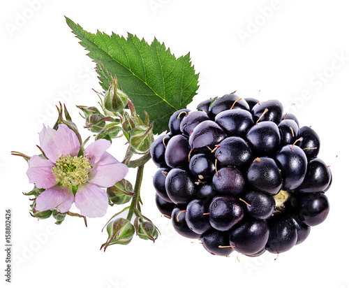 Blackberry and blackberry flower and foliage