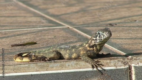 Lizard stands on curb, close-up