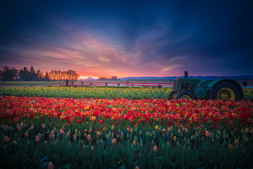 Mt. Hood and Tulip field at dawn
