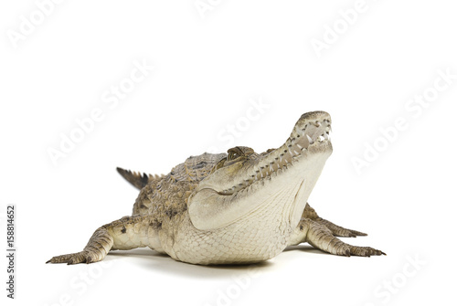 Fresh Water Crocodile isolated on a white background, with shadow Poster