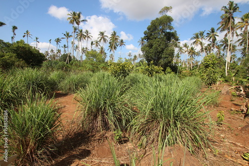 Fotobehang Zanzibar Lemongrass, Cymbopogon / Zanzibar, Tanzania, Indian Ocean, East Africa